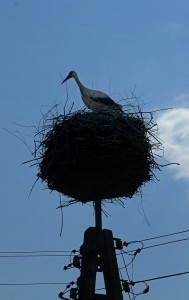 Stork on nest (Ispina)
