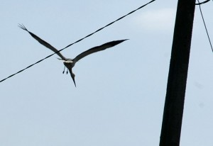 Stork taking off (Ispina)