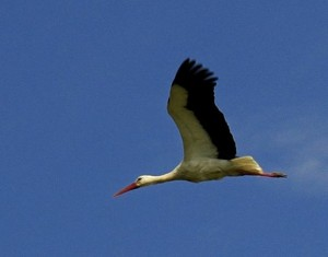 Stork in flight (Ispina)